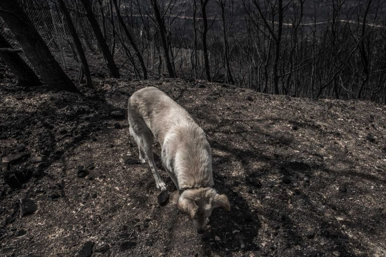 Mati, Athens, Greece, | November 28, 2018 | Photo #3 | A dog is being walked by its owners in the desolate landscape of Mati, a week after large forest fires hit Athens. Photo: Joris van Gennip